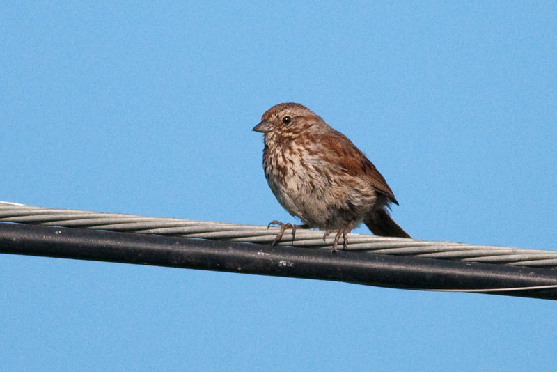 Song Sparrow. Not common here but occasional.