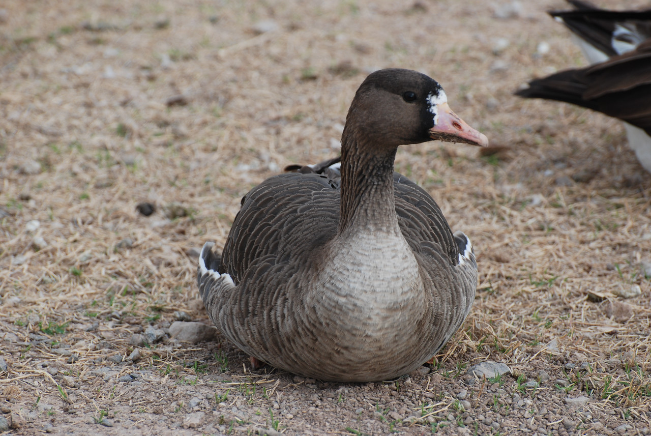 Greater White-fronted Goose. The name comes from the white feathers on the face at the base of the bill. Breeding season may bring more white on the face. Note there is no neck band of white. Like the Cackling goose, this bird is uncommon here but was resident for a couple years.