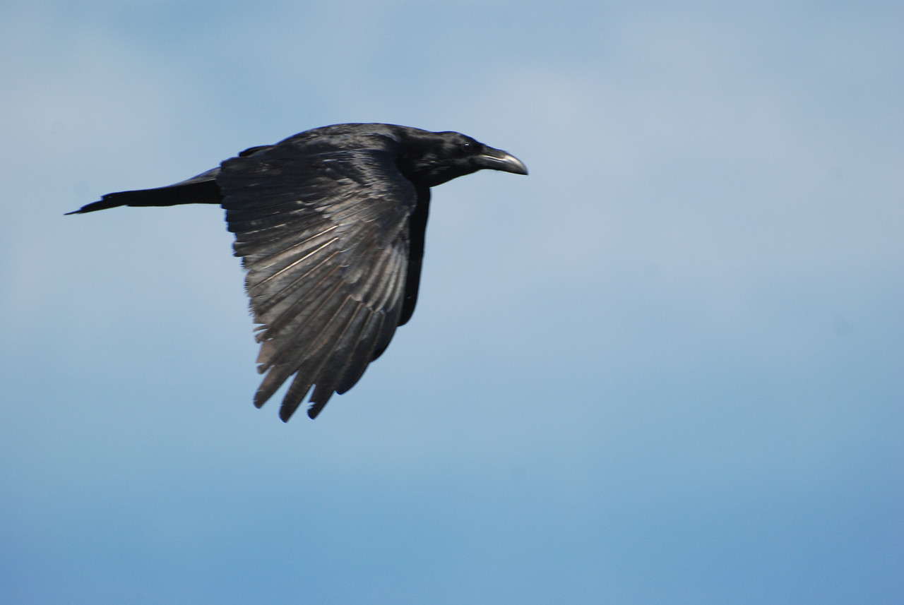 Common Raven. A resident of the desert. Occasionally seen in flight over the park. Larger than a crow.
