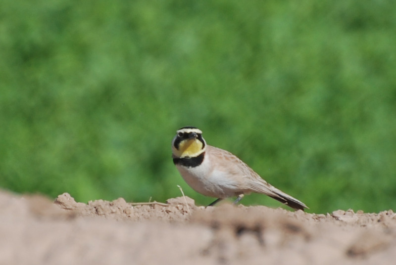 Horned Lark. Common in wide open areas, often barren ground. Uncommon around the lakes.