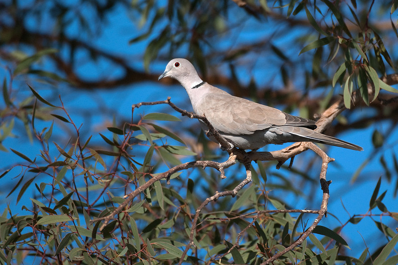 Eurasian Collared-dove. This bird is at Sunbeam in large numbers. Distinctive black slash at back of neck. Larger and lighter color than Mourning dove. Introduced to Florida from Europe in the1990's, it has spread across North America.