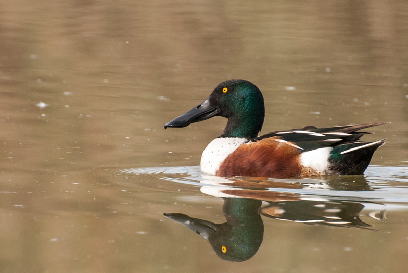 Northern Shoveler. This is a very common duck, especially on the upper lake. Reddish brown sides of the drake begins to show in February. Hen is similar in coloring to a mallard hen. Large broad spoon shaped bill.