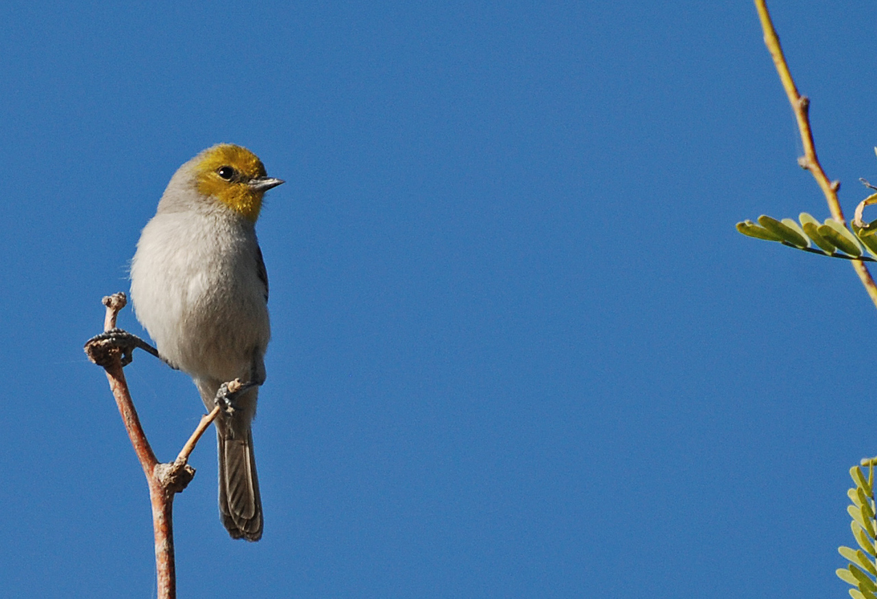 Verdin. This is a diminutive desert creature. Always on the move flitting about in search of insects or nectar. Usually found in trees and thick brush though out the area. Yellow head is distinctive but the color is not always very bright. Can be difficult to find at Sunbeam but usually seen several times in late winter.