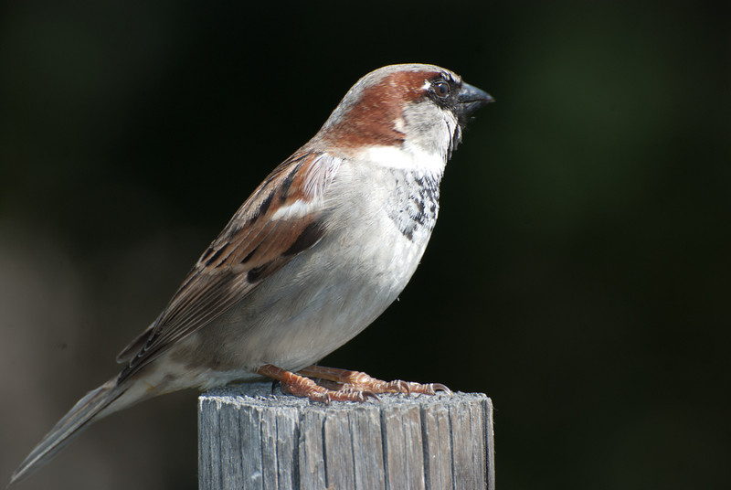 House Sparrow, male. This is a common and very adaptable bird. Introduced from Europe in the early 1900's, it is usually found where ever there are people. Sometimes considered a pest, some call it the winged rat. Found throughout Sunbeam RV Resort, it nests in the palm trees.