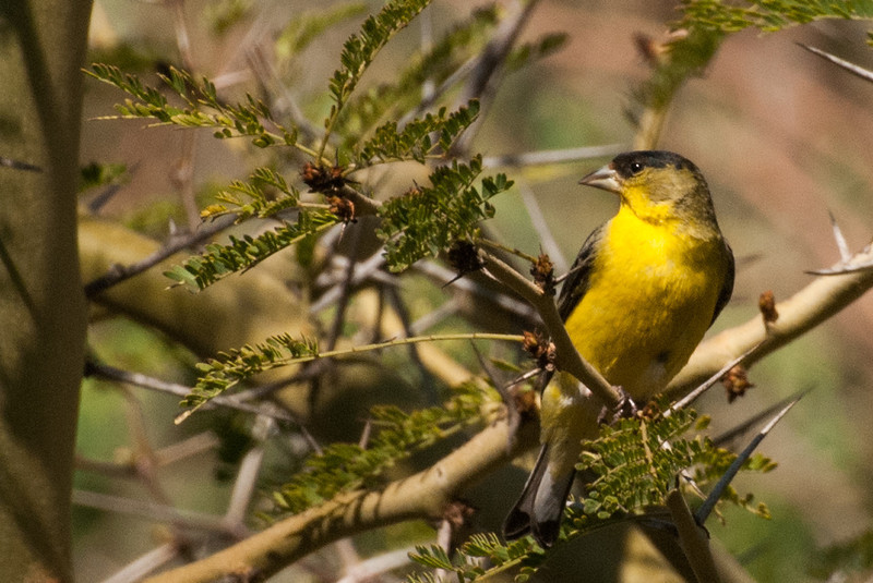 Lesser Goldfinch. Sometimes visits thistle sack feeders along Sunbeam Lake. Found in open habitats of the Southwest U.S.