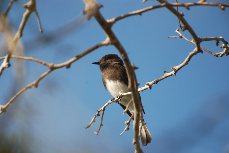 Black Phoebe. This is a flycatcher often seen perched on posts or branches and flying out and up to pick an unseen insect from mid-air. Often twitches it's tail while perched. Usually near water.