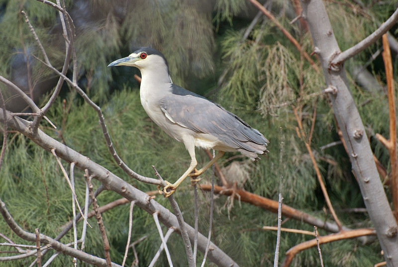 Black-crowned Night Heron. Regular resident of the upper lake day roosting in the Tamarisk/Salt Cedar. Hunts for fish at night along the canals and drains. It leaves the day roost at dusk. A few are usually visible in the trees on the upper lake but they often move into the center of the trees to hide.