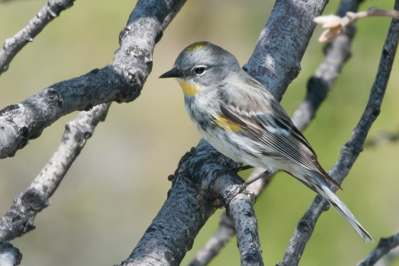 Yellow-rumpted Warbler, female. Quite common in the trees and bushes around the lake. Difficult to get a good look at as it is shy and always on the move. Yellow patches and white eye ring are keys. It shows a yellow rump in flight, sometimes know as 'butter butts.'