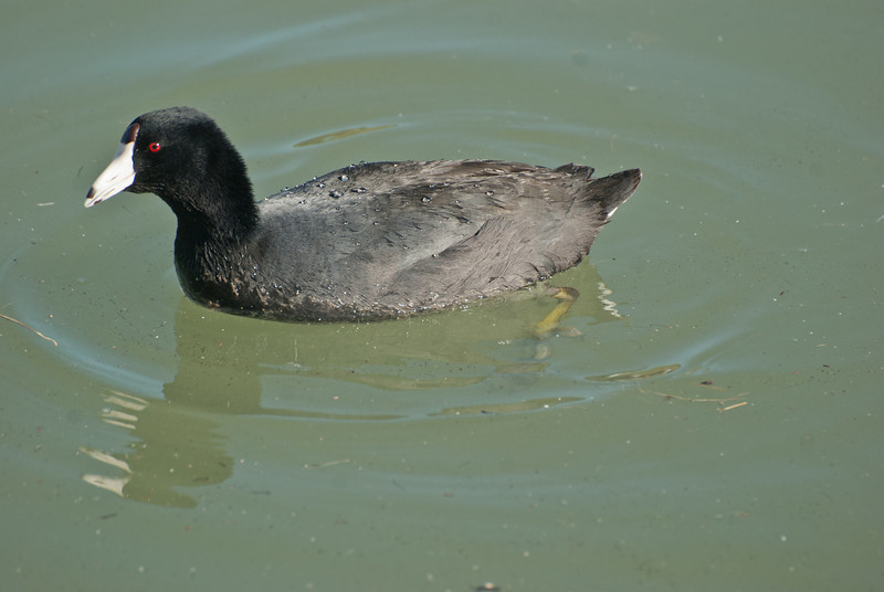 American Coot. This bird is also know as a Mudhen. Common in large numbers on both lakes. It is among the pointy toed ducks. It dives but does not have webbed feet. You may find it interesting to take a close look at the feet. There are often a few in and around the lagoon that become habituated to people. Take a close look at the webbed toes (not webbed feet) when you see them on the sidewalk near the office.