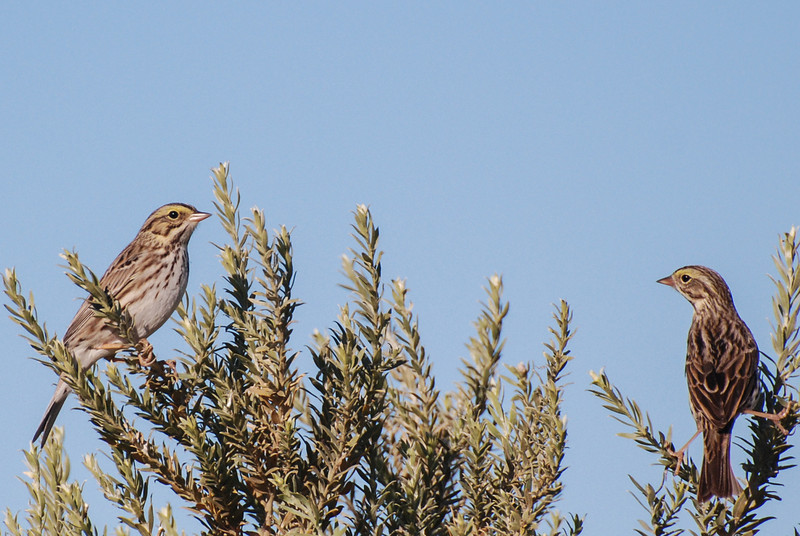 Savannah Sparrow. This bird is fairly common in the winter in the brush along the upper lake shore.