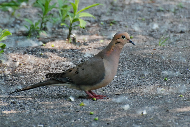 Mourning Dove. Perhaps so-called because of it's somewhat mournful call. This used to be the most common dove here but the Eurasian Collared-dove is here in larger numbers. Nests in trees and often seen in pairs.