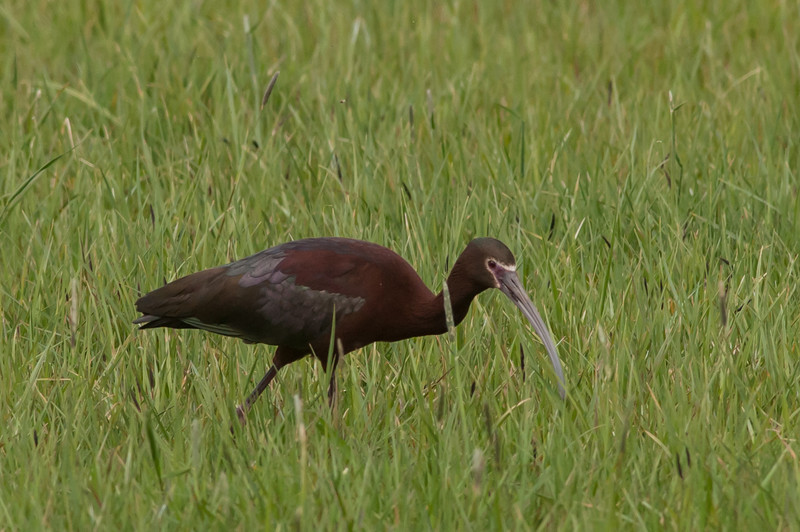 "White-faced Ibis in breeding plumage with ""White Face."" There are huge flocks of White-faced Ibis in the Imperial Valley of California in the Winter. In the Winter,  they have no white on their faces. So everyone asks, ""Where is the white face?"""