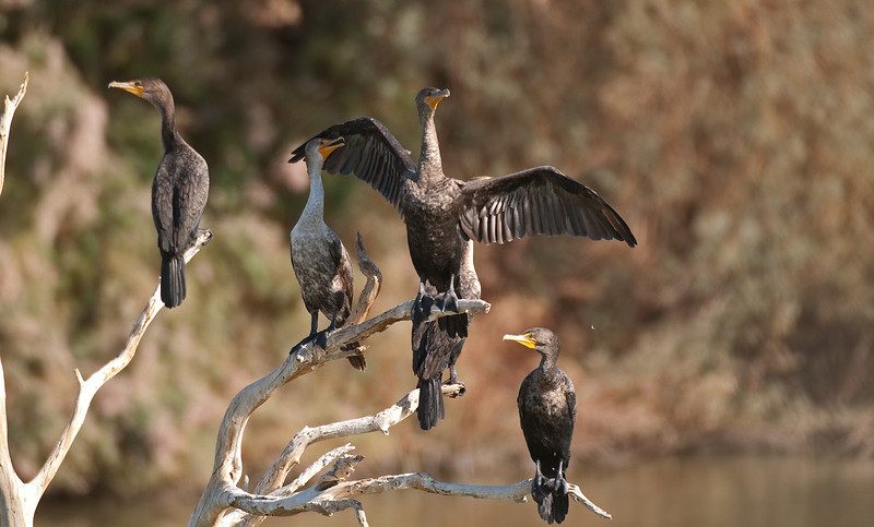 Double-crested Cormorant. A large large diving fish eater. Has no oil gland to water proof it's feathers so spends a lot of time with wings spread to dry them. Common on both lakes.