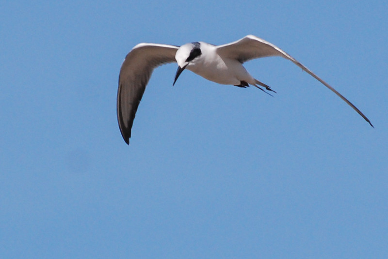 Forster's Tern. This bird shows up now and then doing a flyby of both lakes in search of small fish near the surface. Take special notice of bill shape and color and the head pattern of all terns. Flys effortlessly on long narrow wings.