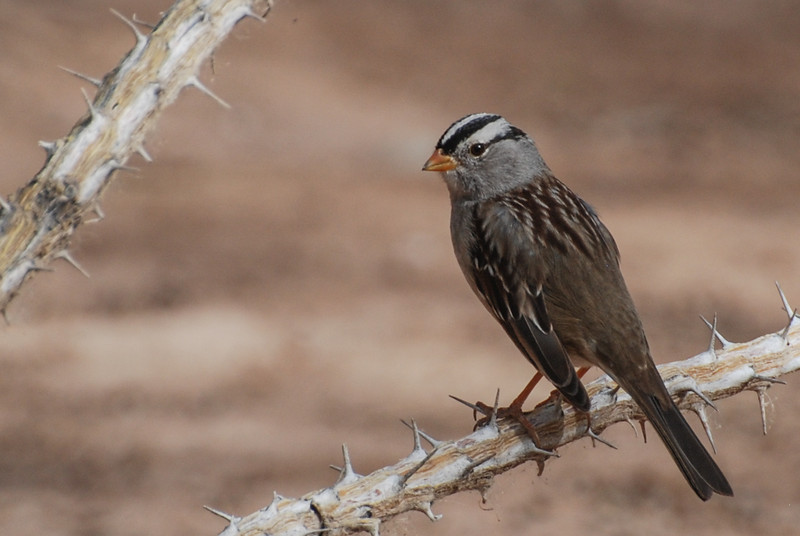 White-crowned Sparrow. This bird is a common winter resident commonly found along the north shore of Sunbeam Lake and along the fence near the entry. Adults have this stripped crown. Young birds will have a subdued head plumage. Check your guide for the plumage of the juvies.
