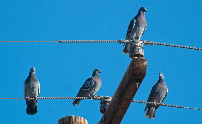 Rock Pigeon. Same pigeon you'll find in the city park. Related to the doves, a regular in the wires along Ross Road and at the Ball field light standards.