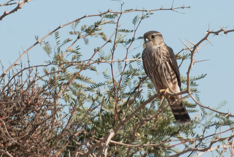 Sharp-shinned Hawk. A small accipiter. Skinny legs and small. Difficult to distinguish from the Cooper's Hawk. Feeds on small birds and hangs out in larger trees around Sunbeam. Less common here than the Cooper's.