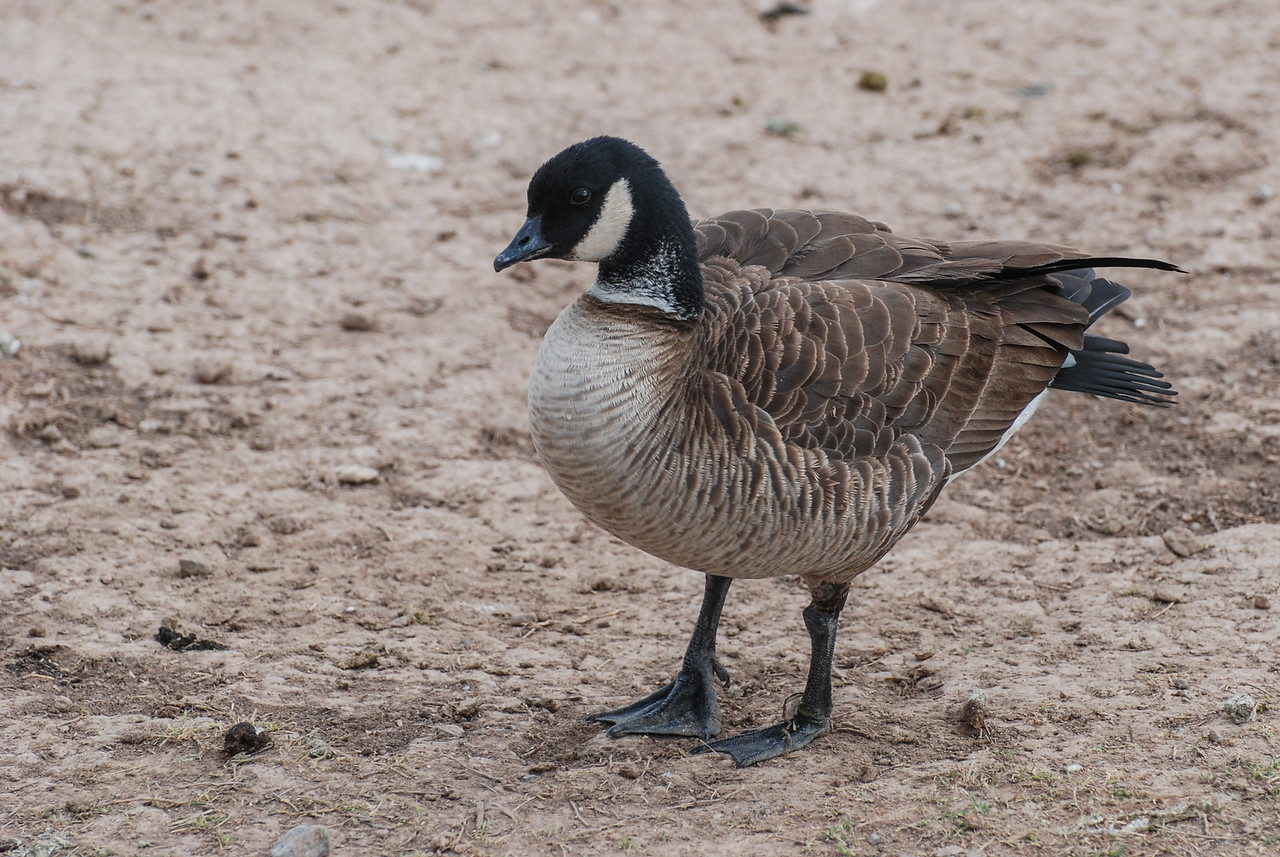 Cackling Goose. This is a version of a Canada Goose but it is small and stout. There was a Cackling Goose that was resident here at the park for 3 years beginning in 2008. They are usually found in flocks, sometimes mixed with full-size Canada Geese.