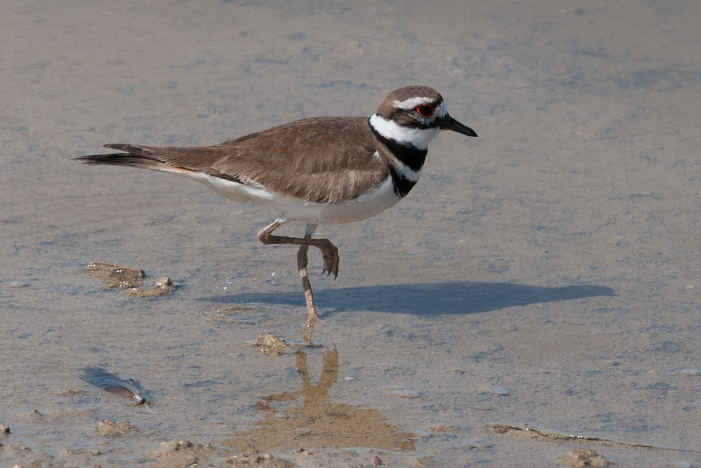 Killdeer. A very common shorebird that prefers searching for insects in the lawns and open soil. Usually call 'killdeer' in flight and can sometimes be heard calling in flight shortly after dark. Nests in the open, usually in gravel.