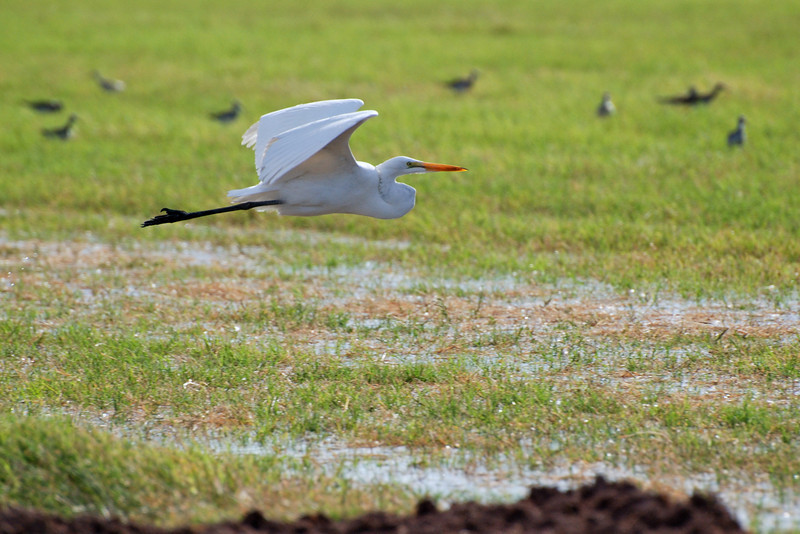 Great Egret. This is the biggest of the 'White Birds' in the valley. Very similar in size and shape to the Great Blue Heron. Forages in shallow water and nests in tree tops.