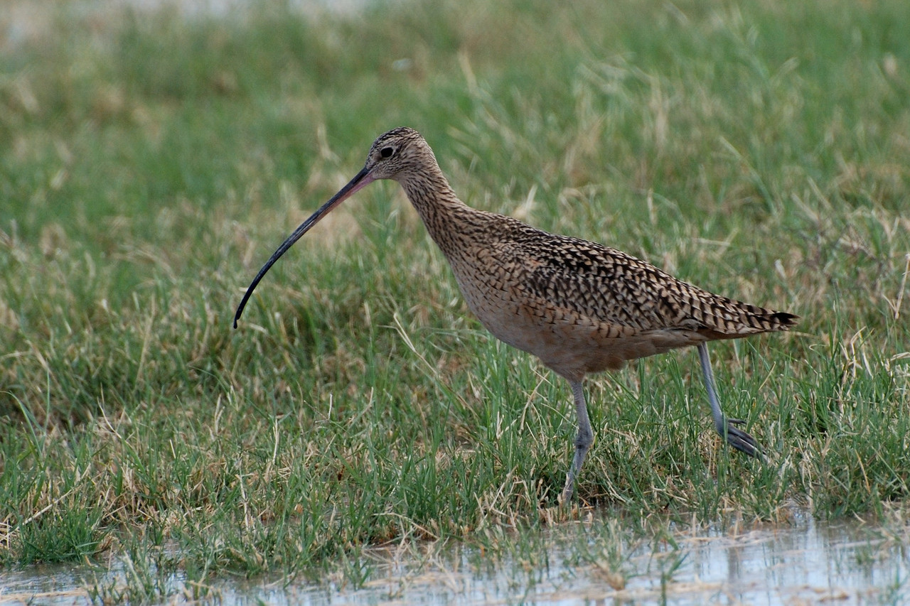 LB Curlew in Flooded field