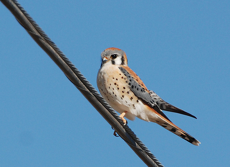 American Kestrel. Smallest hawk and plentiful around the county. Often seen on power lines. A rather shy bird that will flush from a wire as you pass by.