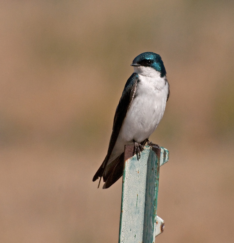 Tree Swallow. This bird shows up in February, mostly on the upper lake. Feeds while cruising the airways in search of unseen insects.