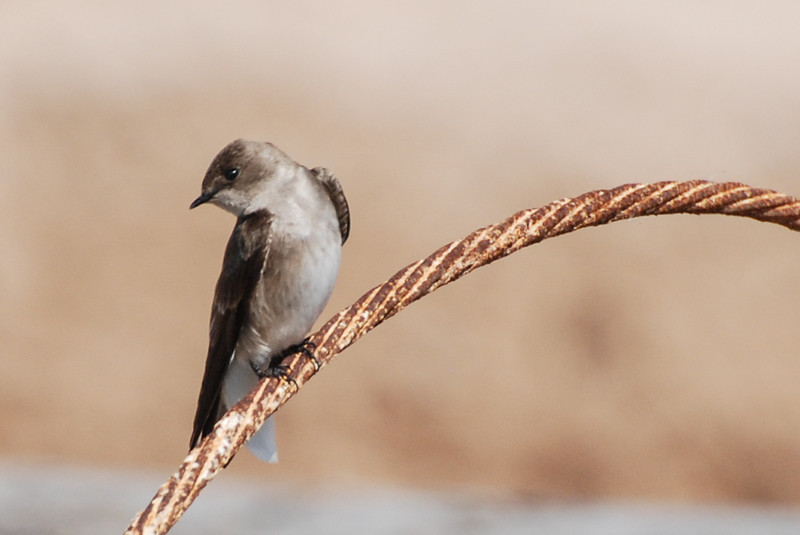 Northern Rough-winged Swallow. Seen in late winter hawking unseen bugs in the air near the lakes. Very plain plumage.