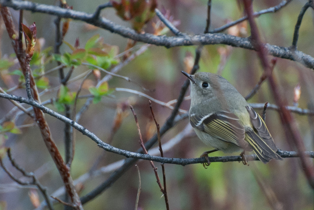 Ruby-crowned Kinglet. A skulker. This bird is always on the move flitting about in search of insects on the bark. Very small gray bird with a distinctive white eye ring. Find it at Sunbeam in the dense Mesquite and Salt Cedar trees. The ruby crown is usually only seen at breeding season when it is displaying for a mate or an opponent to it's territory.
