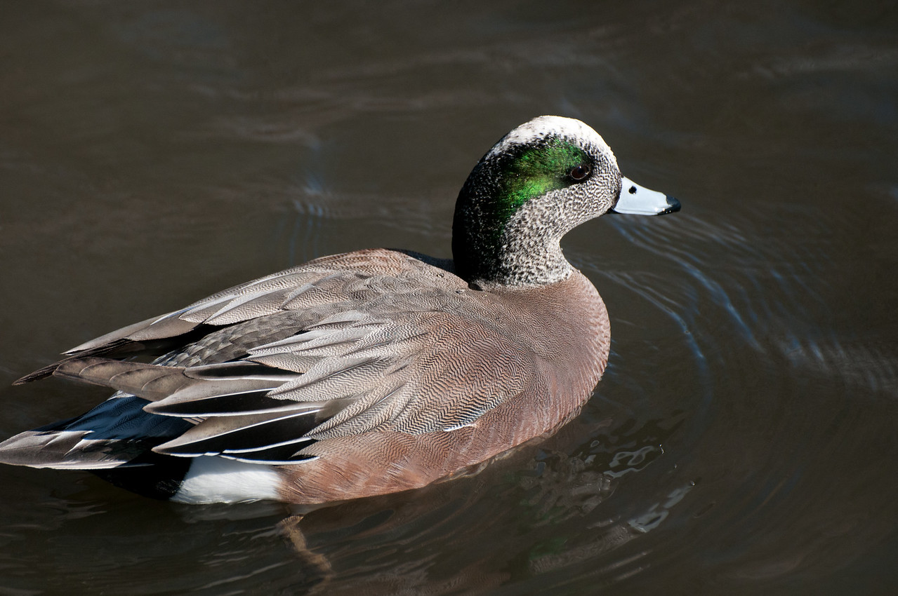 American Wigeon. A dabbling duck feeding on the surface. Small and occasional at Sunbeam Lake