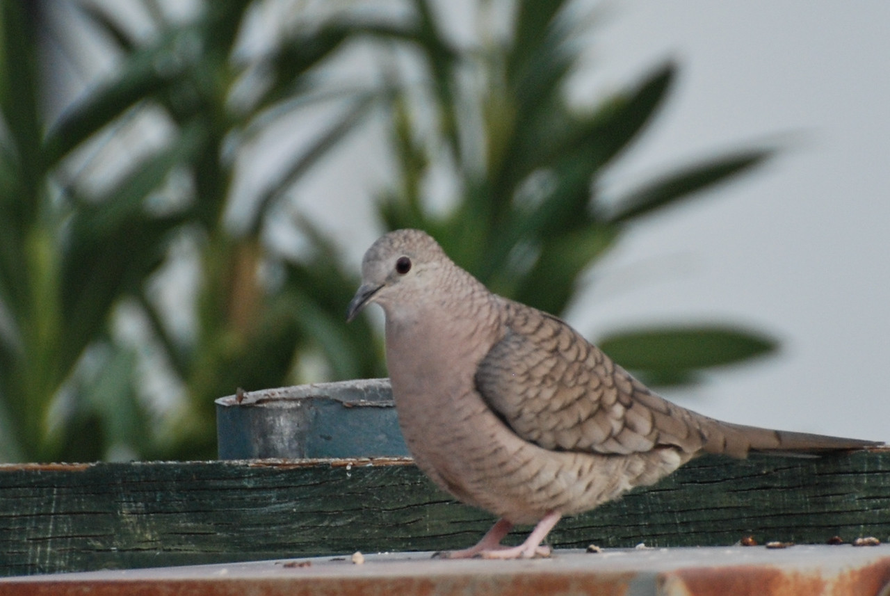 Inca Dove. This is an uncommon bird here at Sunbeam Lake but it can be found occasionally on the ground. It is easily mistaken for the more common, Common Ground Dove. The wing patterns are different.
