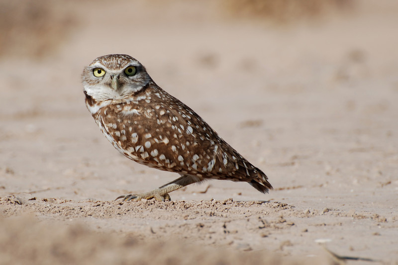 Burrowing Owl. This is a ground nester and is diurnal meaning it is active day and night. Daytime it is often seen standing outside it's burrow. This bird is in serious decline. Usually seen on ditch banks. It enlarges burrows of the round-tailed ground squirrel.