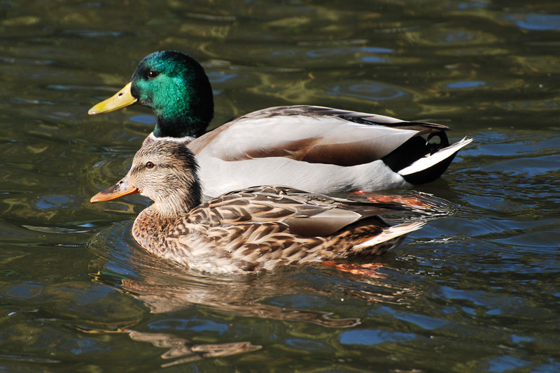 Mallard. A most recognizable Duck. There are usually a few in each lake.