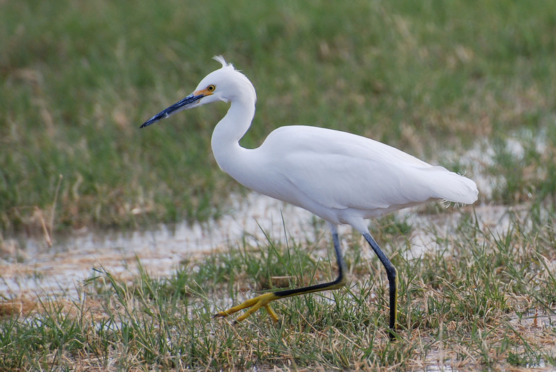 Snowy Egret. This is the mid-size egret in the Imperial Valley. Distinctive yellow feet (golden slippers) and black bill distinguish this bird. Forages for fish and clams in shallow water.
