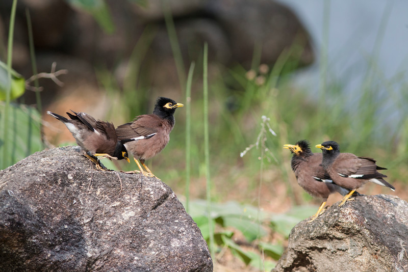 Common Mynas playing in the morning