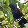 Greater Coucal the biggest prize of the trip