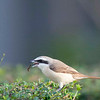 Brown Shrike with a grub