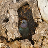 A European Starling in the trunk of a Sycamore tree