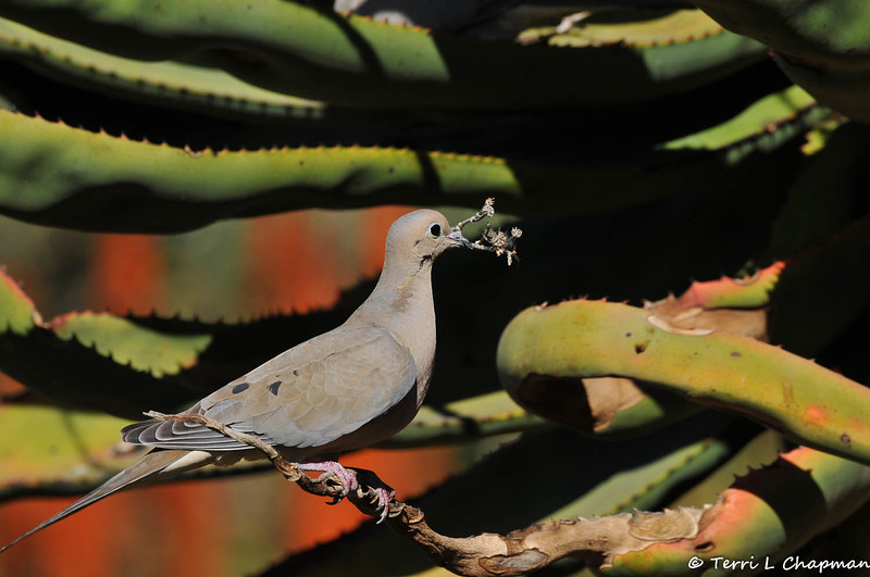 A male Mourning Doves bringing nesting material to his mate