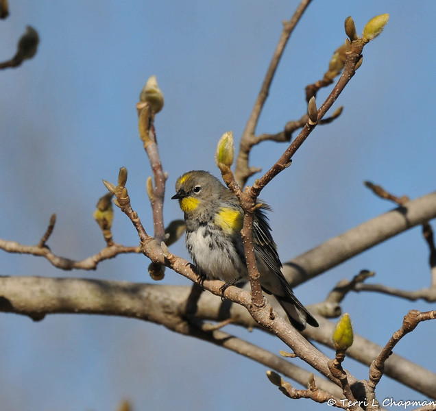A Yellow-rumped Warbler perched in a Magnolia tree