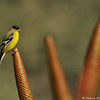 A male Lesser Goldfinch perched on an Aloe plant