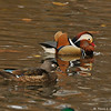 A male Mandarin Duck (foreground) and a female Wood Duck