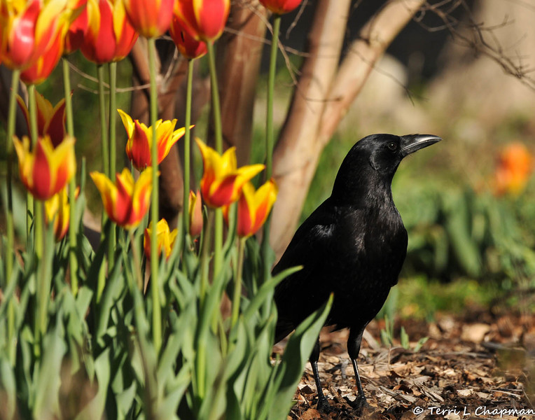 An American Crow posing by the tulips blooming at Descanso Gardens
