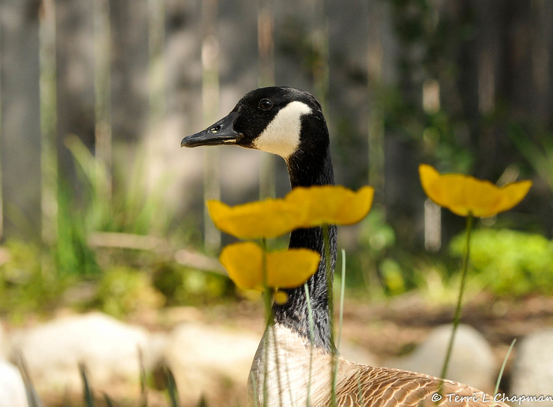 A Canada Goose amongst the blooming Poppies at Descanos Gardens