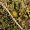 An Orange-crowned Warbler