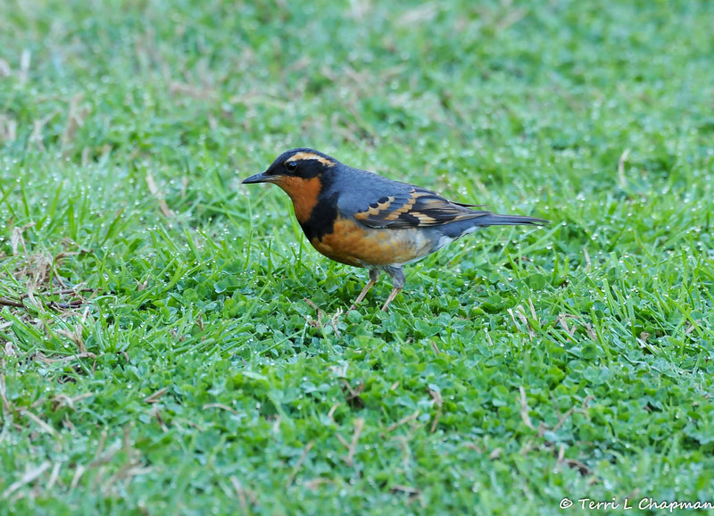 A male Varied Thrush looking for worms in the grass