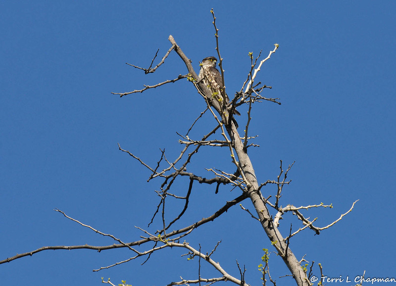 "A Merlin perched at the top of a Acacia albida; ""Winter Thorn"" tree"