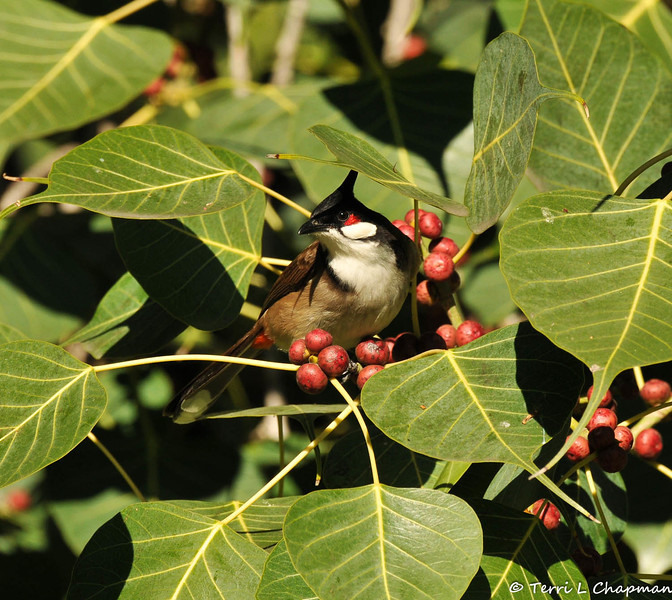 A Red-whiskered Bulbul in a Ficus religiosa Bo tree