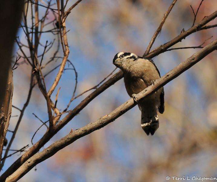 A Downy Woodpecker