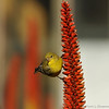 A female Lesser Goldfinch perched on an Aloe plant